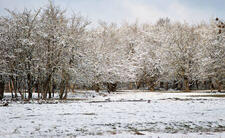 white winter: White winter in the park. Winter forest. Stock Photo