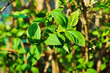 tree jasmine: Jasmine tree  blossoming on bush in sunny day