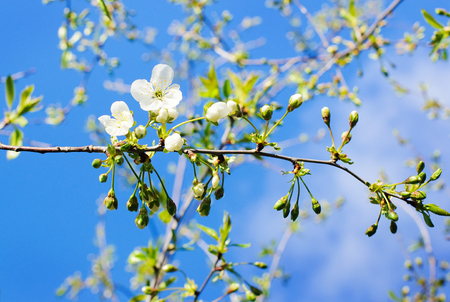 cherrytree: Blossom branch of cherry-tree on blue sky background.