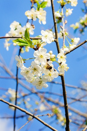 white blossom: White chery blossom on sunny sky background Stock Photo