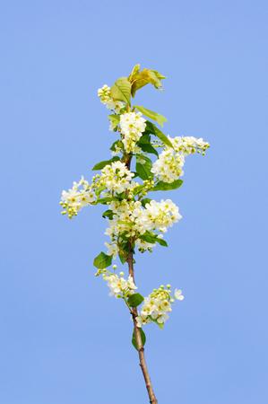 sky brunch: flowering  bird cherry tree in spring park Stock Photo