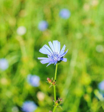 bluet: blue cornflowers growing in a field. Summer.