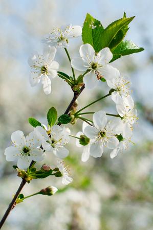 cherrytree: Blossom branch of cherry-tree in spring parkfocus