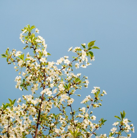 alycha: White flowers of a cherry against the blue sky