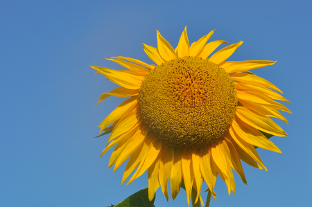 sunflower with blue sky in summer day