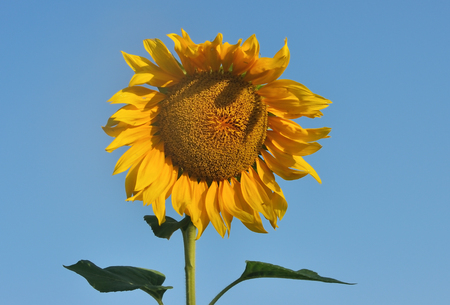 seed bed: Beautiful sunflower against blue sky in summer