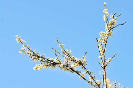 spring white flower tree and blue sky Stock Photo