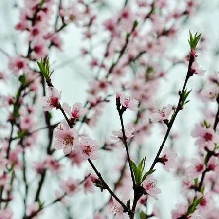 Schöner Frühling Blühenden Baum, Sanfte Weiße Blüten. Lizenzfreie ...