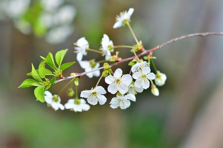 crab apple tree: Beautiful apple tree branch in spring park