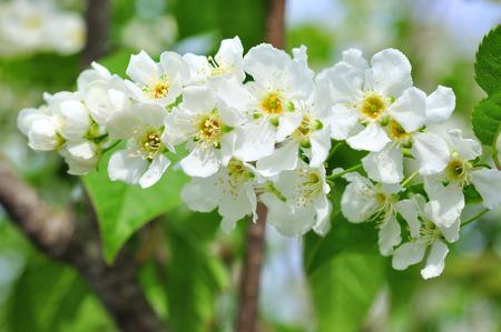 branch of bird cherry andf blue sky.