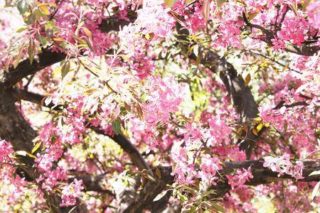 arbol de manzanas: floreciente manzano contra el cielo azul