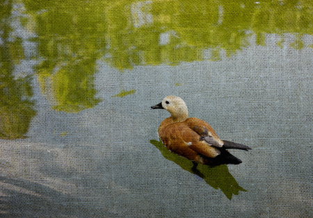 Birds in wildlife. Beautiful l duck swims in lake or river with Reklamní fotografie