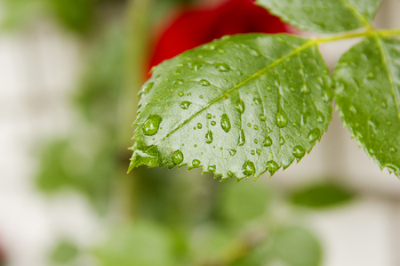 green leaf rose with drops of dew,postcard Stock Photo