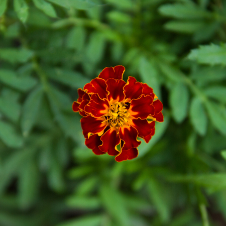 Closeup Marigold flower in the garden  in  sunny day close up. Magrigold background or postcard. Standard-Bild - 122581835