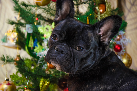 portrait of face dog at new year holidays. pet is black, young French bulldog. room dog lay near christmas tree. background is traditional holiday home. 免版税图像