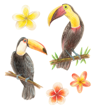 tropical exotic birds and flowers. toucan and plumeria. hand drawing colored pencils illustration. isolated elements