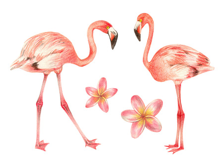 tropical exotic birds and flowers. flamingo and plumeria. hand drawing colored pencils illustration. isolated elements