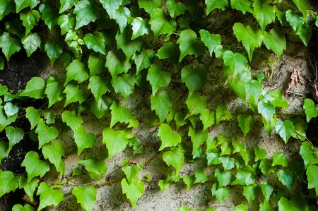 Green clambering plant on a grey stone surface. Close-up view. Natural background.