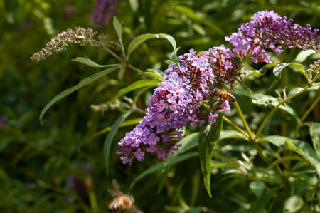 Pollination of buddleja davidi. Beautiful purple flower heads and flying bee pollinates close up. Artistic natural background. Flower in bloom.