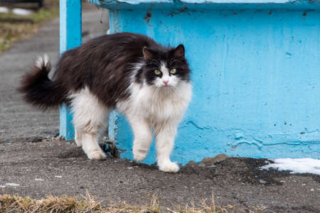 The cat, black and white, fearfully bent its back on the gray sand near the blue corner of the house.