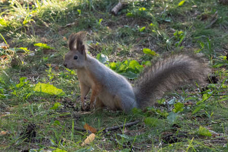 A beautiful fluffy gray-orange curious squirrel stands on its hind legs on the green grass, close-up, copy space. Wildlife care concepts Stock fotó