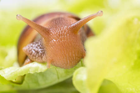 The small Achatina snail eats a leaf of lettuce or grass, Snail in nature, close-up, selective focus, copy space. Can be used to illustrate the harm from snails for gardening
