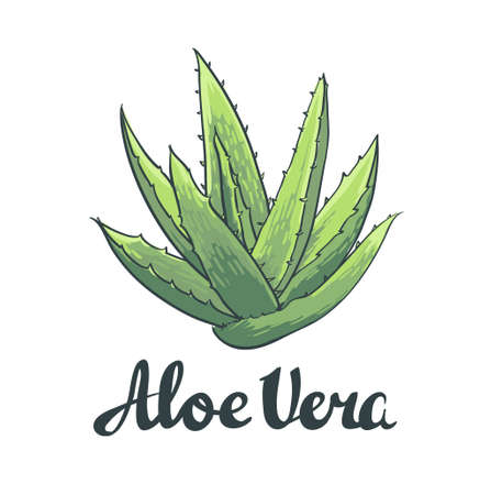 Natural Vector Aloe vera illustration isolated object. Фото со стока - 60090488