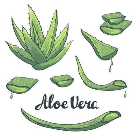Aloe vera hand drawn set. Vector illustration