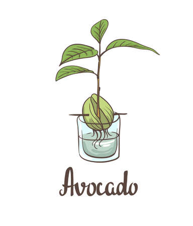 germinate: A seedling of avocado on a laboratory flask. illustration