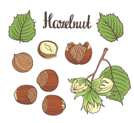 Set of detailed  hazelnuts isolated on white background. illustration. Иллюстрация
