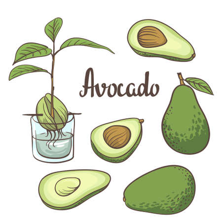 sliced tree: Avocado, half of avocado, avocado seed, a seedling of avocado on a laboratory flask isollated on white background. illustration of fruit avocado