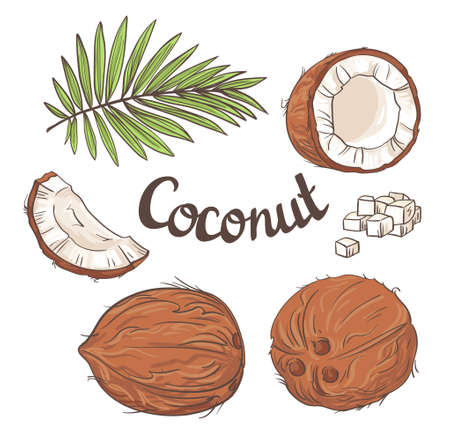 coco: Coconut set - the whole nut, leaves, a coco segment and pulp of a coco. illustration.
