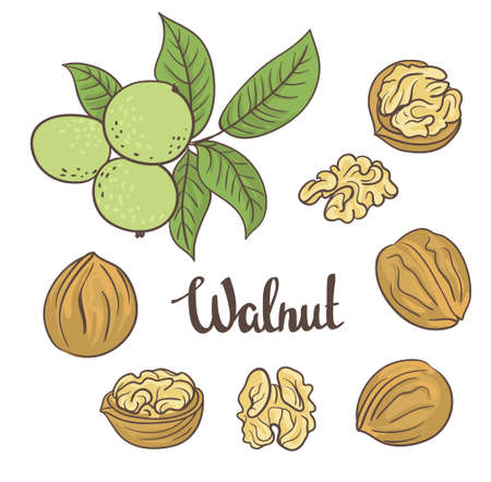 Green walnuts with leaves  and dried walnuts isolated on a white background