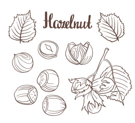 Set of detailed hand drawn hazelnuts isolated on white background.