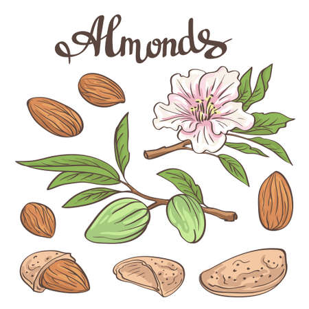 hazel branches: Almonds with kernels, leaves and flower.