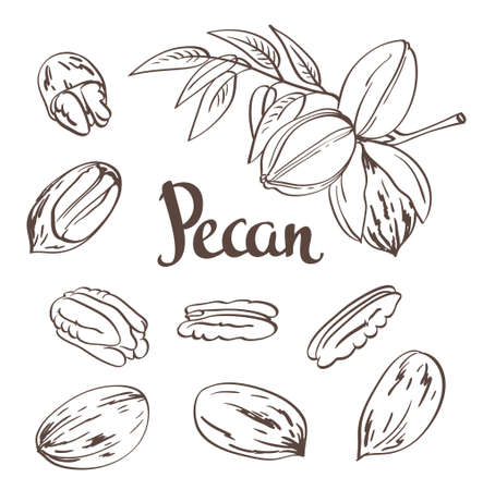 pekan: Green Pecan nuts with leaves and dried Pecan nuts isolated on a white background. Vector illustration.