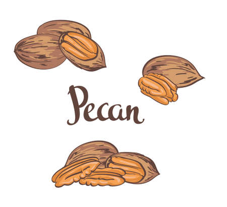 Dried Pecan nuts isolated on a white background. Vector illustration.