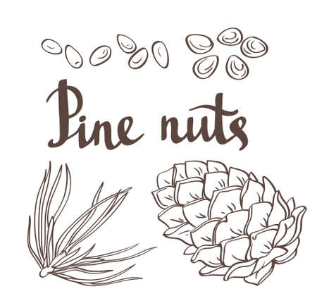 Pine nuts and pine cones. Hand drawn vector illustration. Isolated objects on the white background.