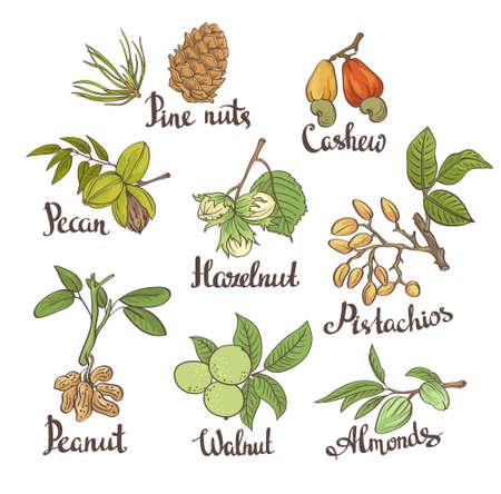 Vecteur série de noix dessinés à la main sur fond blanc avec des feuilles dans le style dessiné à la main: noisette, amandes, arachides, noix, noix de cajou, noix de pin, pistaches, noix de pécan. Illustration vectorielle botanique. Vecteurs