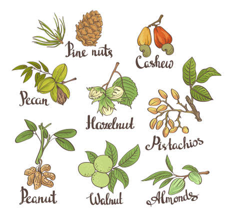 Vector set of hand sketched nuts on white background with leaves  in hand drawn style: hazelnut, almonds, peanuts, walnut, cashew, pine nut, pistachios, pecan. Botanical vector illustration. Ilustração