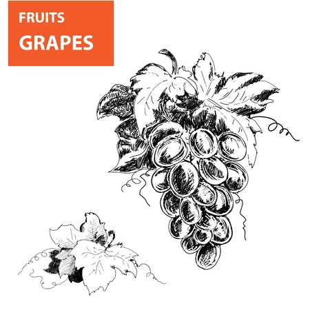wine making: Hand drawn illustrations of grapes Stock Photo