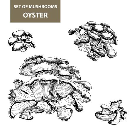mycology: Set of mushrooms. Oyster mushrooms. Vector hand drawn illustration.