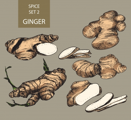 indian spices: Ginger. Hand drawn illustrations Illustration