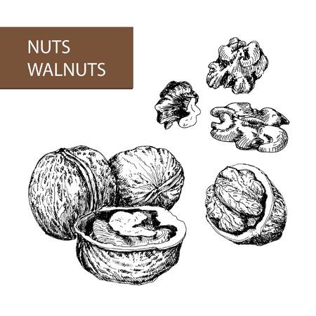 Nuts. Walnuts. Set of hand drawn illustrations.