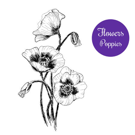 Poppies. Hand drawn illustration Vector