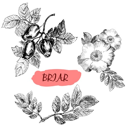 Briar. Wild rose. Hand drawn illustration