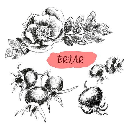 wild  rose: Briar. Selvaggio � aumentato. Illustrazione disegnata a mano