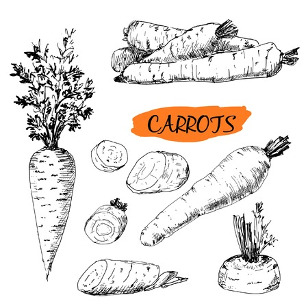 botanical drawing: Carrots. Set of hand drawn graphic illustrations