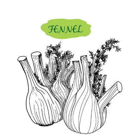 fennel seed: Fennel graphic illustration