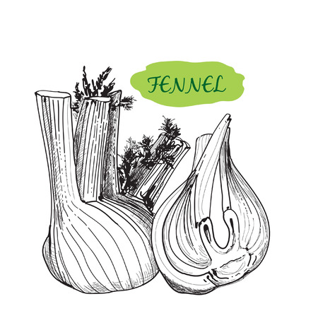 fennel seeds: Fennel graphic illustration